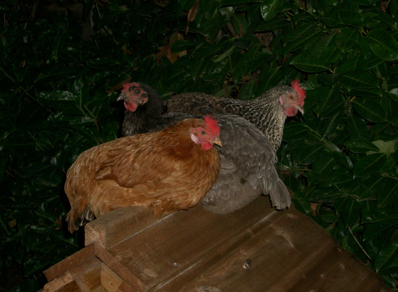 Chickens on the roof of their house